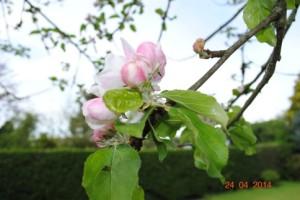 Wareham Russet Blossom