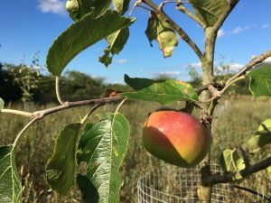 Picture of a ripe apple on a tree in the orchard