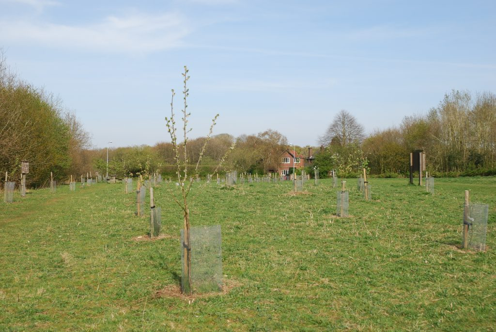 A picture of a Milicent Barnes apple tree.