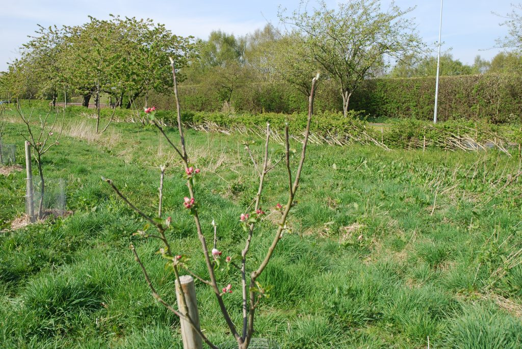A picture of a Wareham Russet apple tree in bud.